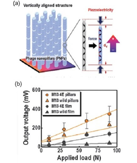 Fig. 5. (a) Schematic of vertically aligned M13 bacteriophage nanopillars. (b) Characterization of the phage nanopillar-based nanogenerator. Comparison of the load-dependent output voltages of the phage nanopillar-based nanogenerator with those of the phage film-based nanogenerator from [15]. (Copyright 2015 Royal Society of Chemistry)