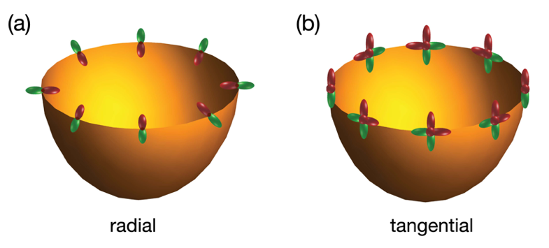 Fig. 1. (a) Radial and (b) tangential orbital textures in a p orbital system. Figure taken from Ref. [4].
