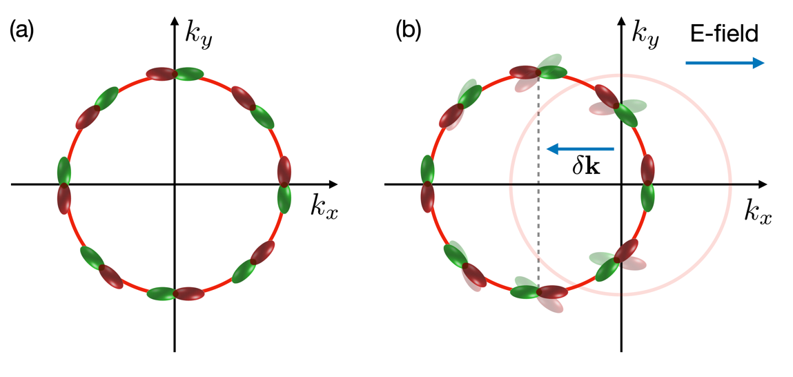 Fig. 2. (a) Tangential p orbital texture in equilibrium. (b) When an external electric field is applied, the Fermi sea shifts to the opposite direction to the electric field. As electronic states shift from k to k+δk, they no longer become eigenstates at k+δk, which leads to orbital dynamics. In (b), transparent orbitals represent the orbital texture of the eigenstates at k+δk.